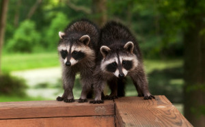 Wildlife Control by your Local Experts at Muskoka Wildlife Control!